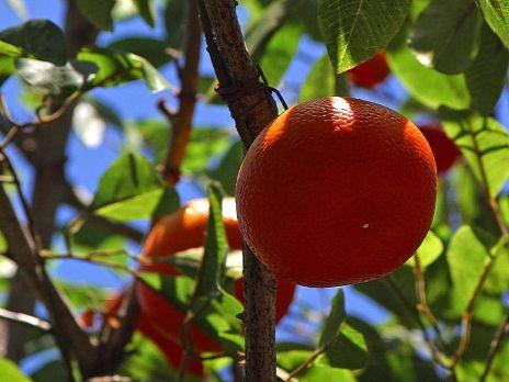 Oranges_fruit_trees