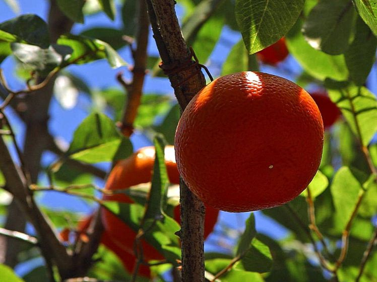 Oranges_fruit_trees
